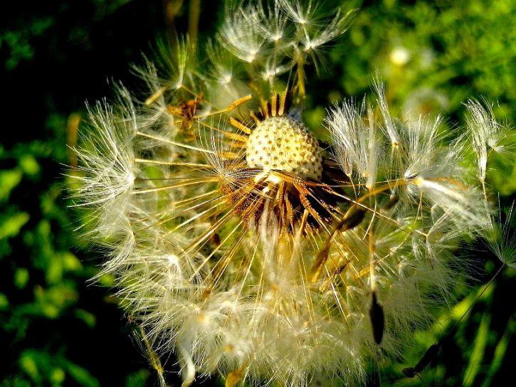 dandelion, seeds, close