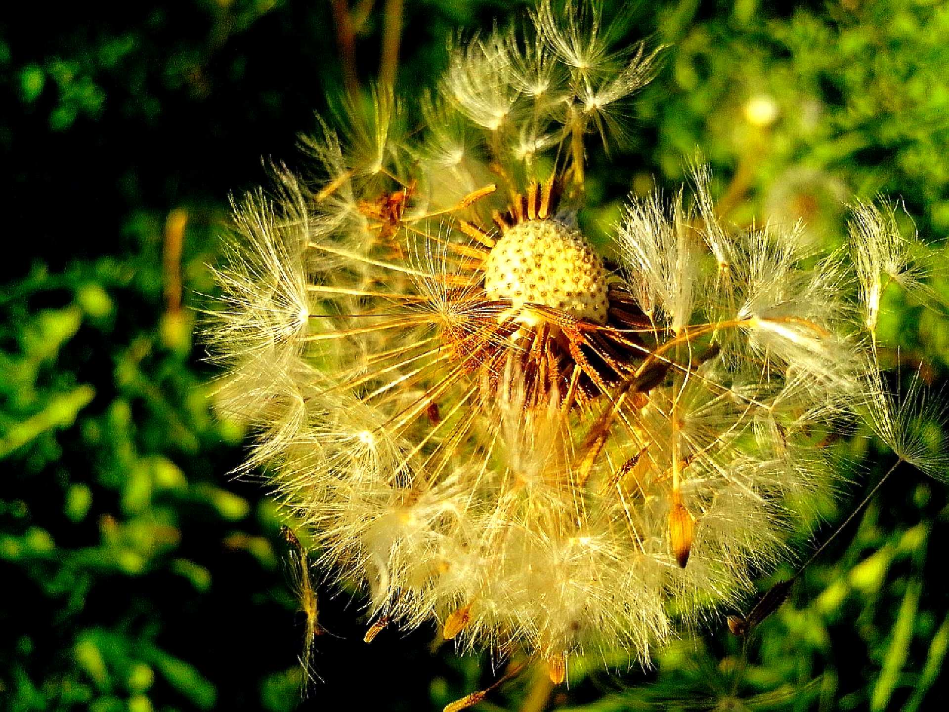 Free photograph; dandelion, seeds, detailed, photography