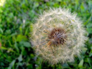 dandelion, seeds, shape, ball, stalk, flower, grass