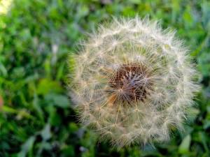 dandelion, seeds, shape, ball, stalk, flower, grass