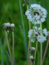 dandelions, white, green, grass