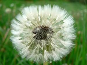 seeding, dandelion