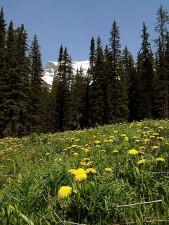 spring, dandelions, flowers