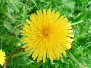 jaune, pissenlit, champ, herbe