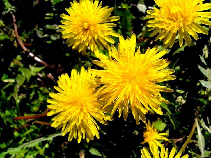 yellowish, dandelion, honey, wild, flowers