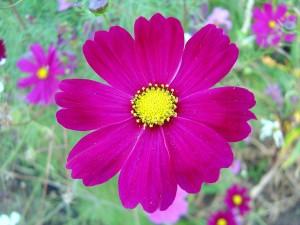 donker roze, kosmos, bloem