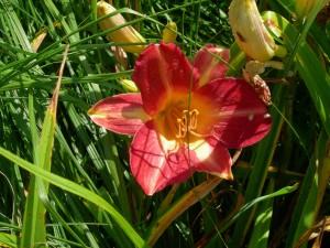 donkere, rode bloem