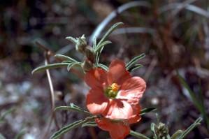 desierto, malva, flor