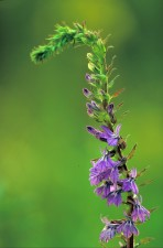 duveteux, lobelia, fleur