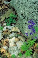 dwarf, larkspur, flower