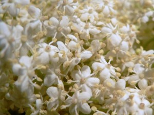白い花、小さな花びら