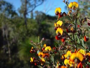 orange flowers, eutaxia obovata, plant