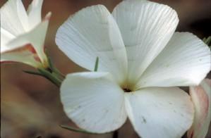 white flower, plant, petals, up-close, linanthus dichotomus