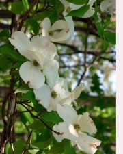 up-close, flowers, tree, dogwood, blossom