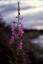 épilobe, plante, fleur