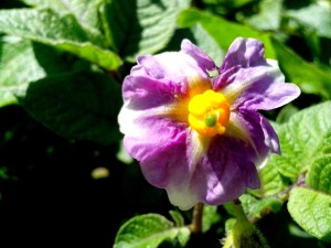 flower, potato