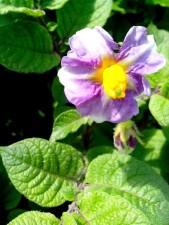 fleur, pomme de terre, vert, pomme de terre, feuilles