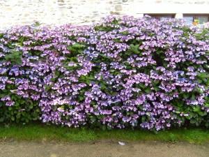 fleurs, haie, fleurs, hortensia