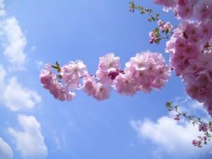 flori cu flori, cires,