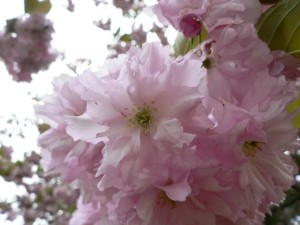 flowering, tree, bright, purple flower, tree