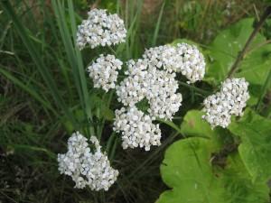 fleurs, lumineux, blanc, herbe