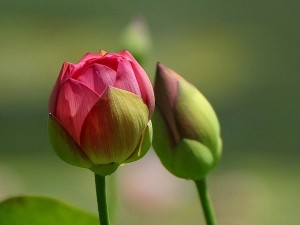 cvijeće, pupoljci