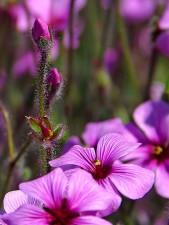 flowers, buds, petals
