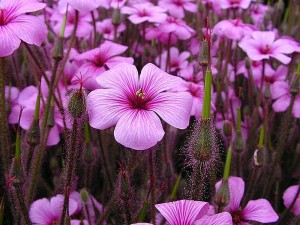 fleurs, pourpre