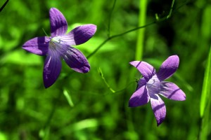 fleurs, pourpre, herbe