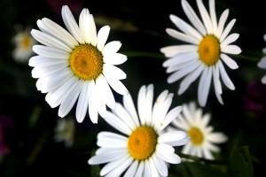 fleurs, blanc, élevé, définition