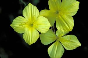 four, point, evening primrose, flower