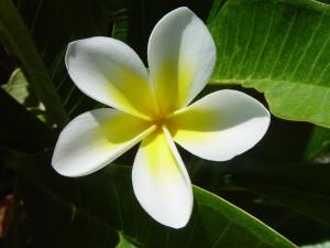 frangipani, blossom