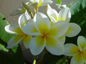 frangipani, кластер