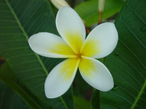 франжипани, цветок., белый цветок лепестки, вверх colse, зеленые листья