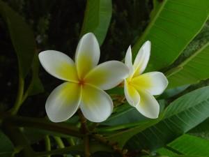 keře, květiny, plumeria