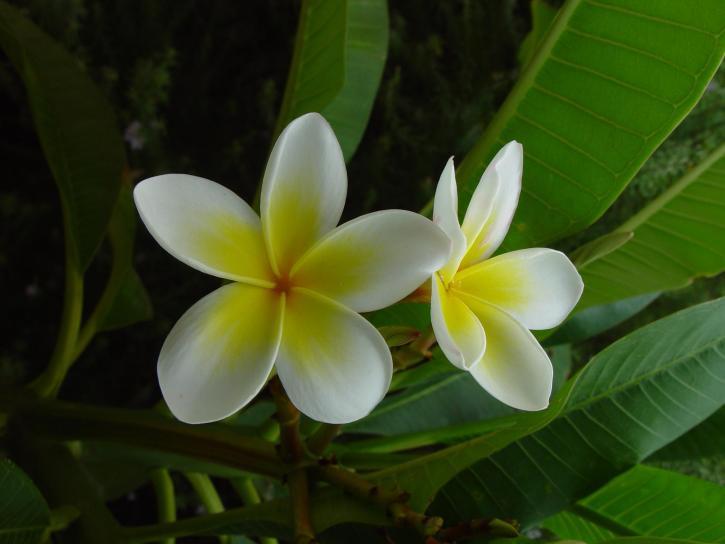 frangipani, квітка, Живці квітів