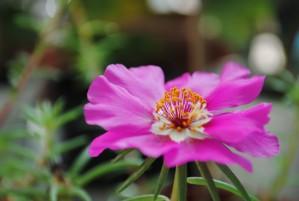 fuschia, Blumen, Blüten