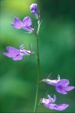 gattinger, lobelia, plant, flower, lobelia, appendiculata, gattingeri