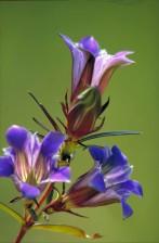 tamne, plava, roza, prerije, srčanik, cvijet, solidago, nemoralis