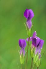 Gentian bunga
