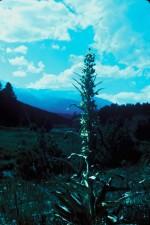 vert, gentiane, plante, frasera, walt