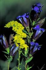 prairie, gentiane, gris, goldenrod, fleurs