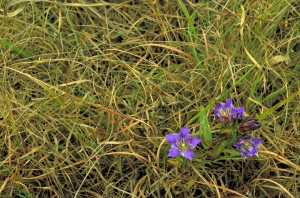prairie, gentian, solidago, nemoralis, purple, blossoms, growing, curly, grass
