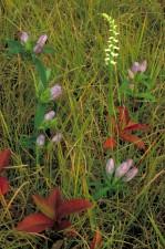 gentiane, fleurs, champ, herbe