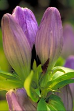 gentian, plant, purple flower, petals
