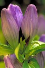 encijan, biljka, ljubičasti cvijet, latice
