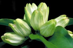 bijela, srčanik, cvijet, gentiana, alba, zelenkasto, bijele, cvjetovi, vrhom, roza
