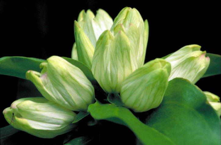white, gentian, flower, gentiana, alba, greenish, white, blossoms, tipped, pink