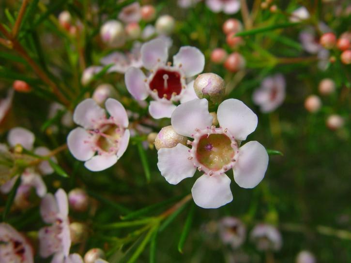 geraldton, wax, blossoms