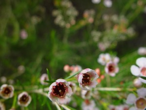 geraldton, wax, up-close, flowers